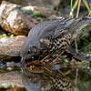 Turdus viscivorus Misteldrossel Mistle Thrush Grive draine Grote Lijster