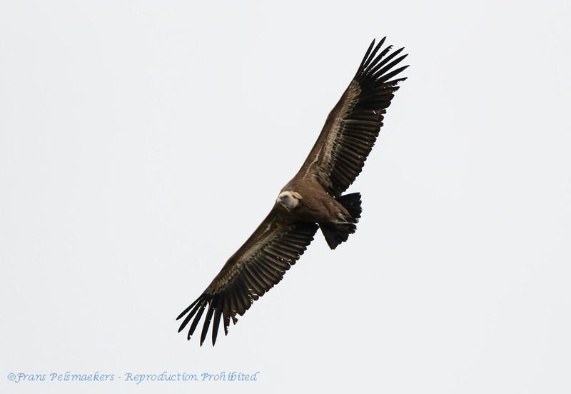 Vale gier; Gyps fulvus; Griffon vulture; Vautour fauve; Gänsegeier