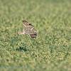 Velduil  Asio flammeus Hibou des marais Shorteared owl Sumpfohreule