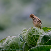Graspieper; Meadow pipit; Anthus pratensis; Wiesenpieper; Pipit farlouse