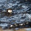 Waterspreeuw; Cinclus cinclus; Whitethroated dipper; Wasseramsel; Cincle plongeur
