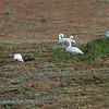 IJsland; 2019; 822; Wilde zwaan; Cygnus cygnus; Singschwan; Whooper swan; Cygne chanteur