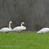 Wilde zwaan; Cygnus cygnus; Singschwan; Whooper swan; Cygne chanteur