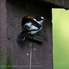 Withalsvliegenvanger; Ficedula albicollis; Collared flycatcher; Gobemouche à collier; Halsbandschnäpper