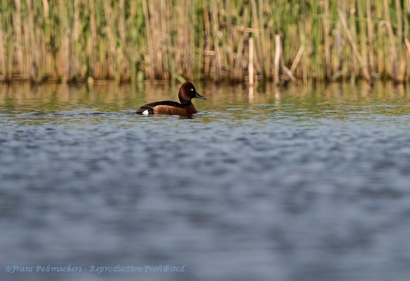 Witoogeend; Aythya nyroca; Ferruginous duck; Moorente; Fuligule nyroca