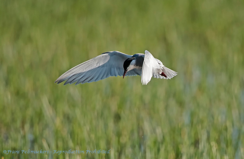 Witwangstern; Chlidonias hybrida; Whiskered tern; WeißbartSeeschwalbe; Guifette moustac