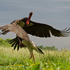 Zwarte ooievaar; Ciconia nigra; Black stork; Cigogne noire; Schwarzstorch