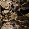 Zwarte roodstaart; Phoenicurus ochruros; Rougequeue noir; Black redstart; Hausrotschwanz