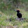 Zwarte specht; Dryocopus martius; Black woodpecker; Pic noir