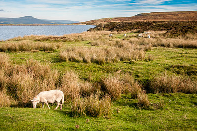 Cows grazing at Keepers Pond in Blaenavon, Wales