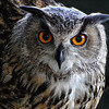 Great Horned Owl - Cardiff Castle - Wales