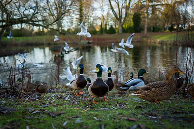 Ducks at a lake in Wilhelmshaven, Germany.