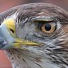 Close-up eyes Bonelli's Eagle; Havikarend; Falconry; Valkenier; Fauconier; Hieraaetus fasciatus; Habichtsadler; Bonelli's Eagle; Aigle de Bonelli; Zoo