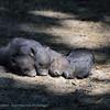 Hangbuikzwijn; Potbellied pig; Cochon vietnamien; Hängebauchschwein; Zoo