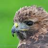Close-up eyes Redtailed Hawk; Roodstaartbuizerd; Falconry; Valkenier; Fauconier; Zoo; Buteo jamaicensis; Rotschwanzbussard; Redtailed hawk; Buse à queue rousse