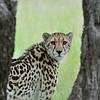 King Cheetah; Koningsjachtluipaard; Acinonyx jubatus rex; Guépard royal