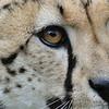 Close-up eyes Cheetah; Jachtluipaard; Cheetah; Guépard; Gepard; Acinonyx jubatus