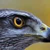 Close-up eyes Goshawk; Havik; Autour; Accipiter gentilis; Habicht; Goshawk; Zoo; Valkenier; Fauconier; Falconry