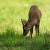 Capreolus capreolus; Roe deer; Ree; Reh; Chevreuil