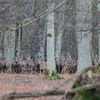 Harde Edelherten; Cervus elaphus; Hirsch; Cerf; Red deer herd; Uncountable number of red deer pushing trough the trees