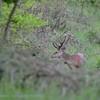 Red deer stag in velvet, Edelhert; Cervus elaphus; Hirsch; Cerf;  Bast; Velour