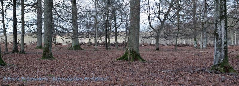 Harde Edelherten; Cervus elaphus; Hirsch; Cerf; Red deer herd