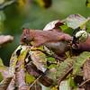 Eekhoorn; Sciurus vulgaris; Écureuil roux; Red squirrel; Eichhörnchen