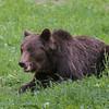 Europese bruine beer; Ursus arctos arctos; Eurasian brown bear; Ours brun d'Europe; Europäischer Braunbär