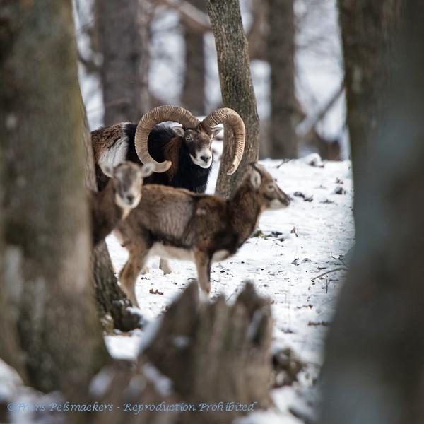 Moeflon;  Ovis orientalis; Mouflon; Wildschaf