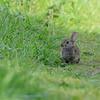 Oryctolagus cuniculus; Lapin de garenne; Wild konijn; Rabbit; Wildkaninchen
