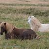 IJsland; 2019; Iceland; Icelandic horse