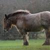 Trekpaard; Regen; Belgisch trekpaard; Brabants trekpaard; Rain; Pluie; Brabanter; Trait belge; Belgian horse; Belgian Heavy Draft horse