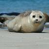 Close-up Grijze Zeehond; Kegelrob; Grey Seal; Halichoerus grypus; Phoque gris; Kegelrobbe