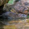 Bruine rat Rattus norvegicus Wanderratte Brown rat Rat brun Surmulot Rat d'égout