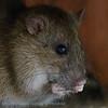 Bruine rat; Rattus norvegicus; Wanderratte; Brown rat; Rat brun; Surmulot; Rat d'égout