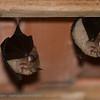Grote hoefijzerneus; Rhinolophus ferrumequinum; Grand rhinolophe fer à cheval; Greater horseshoe bat; Große Hufeisennase