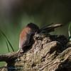 Rosse woelmuis; Myodes glareolus; Clethrionomys glareolus; Bank vole; Campagnol roussâtre; Rötelmaus