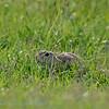 Siesel; Spermophilus citellus; European ground squirrel; Souslik d'Europe; Europäischer Ziesel