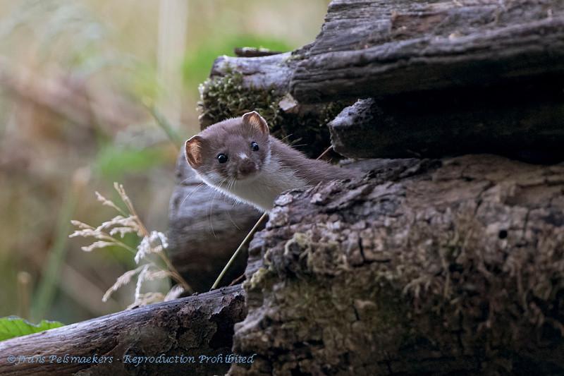 Wezel  Mustela nivalis Belette d'Europe Least weasel Mauswiesel