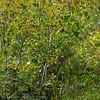 Wilde kat; Felis silvestris; Wildcat; Chat sauvage; Wildkatze; Chat forèstier;