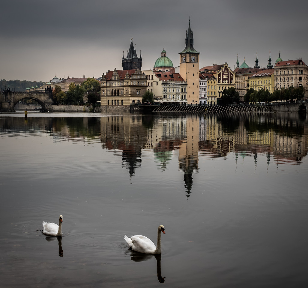 The famous swans of Prague III