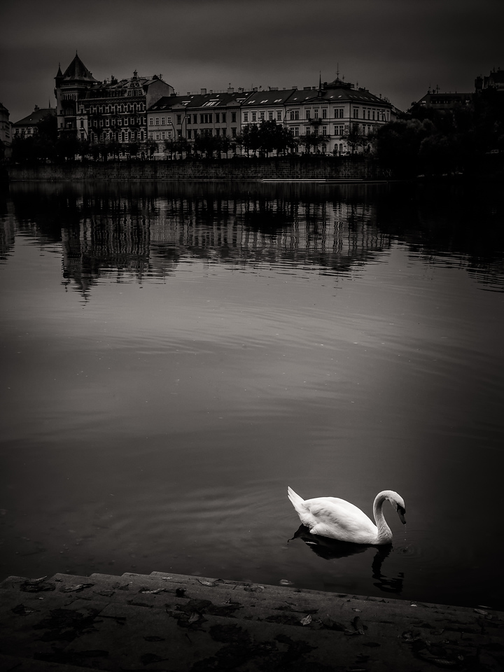 The famous swans of Prague VII