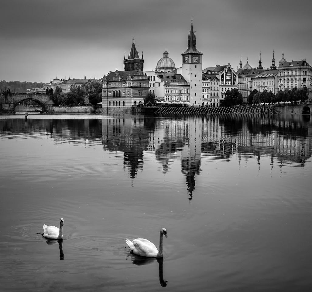 The famous swans of Prague V