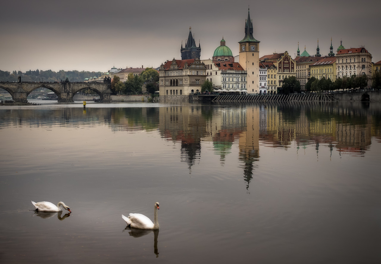 The famous swans of Prague I
