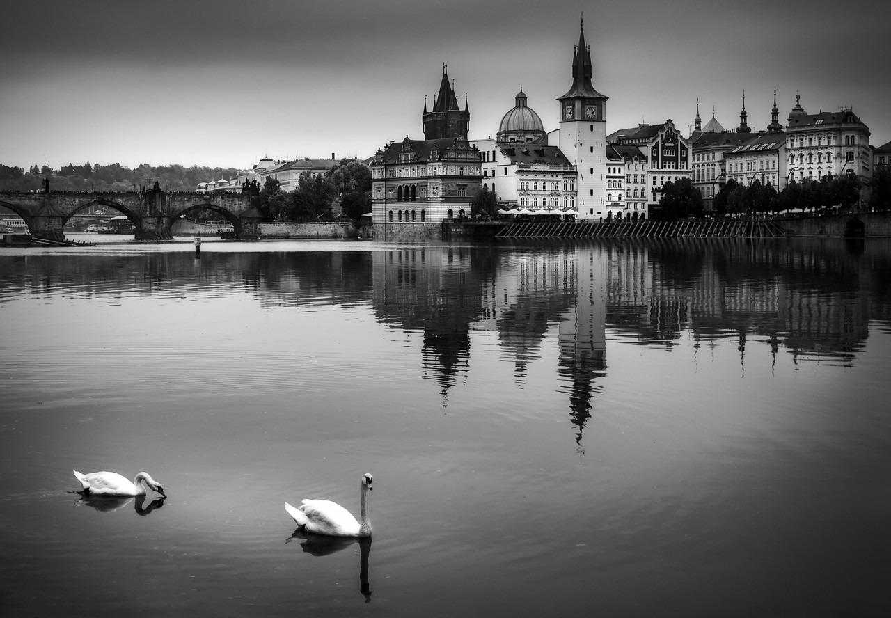 The famous swans of Prague II