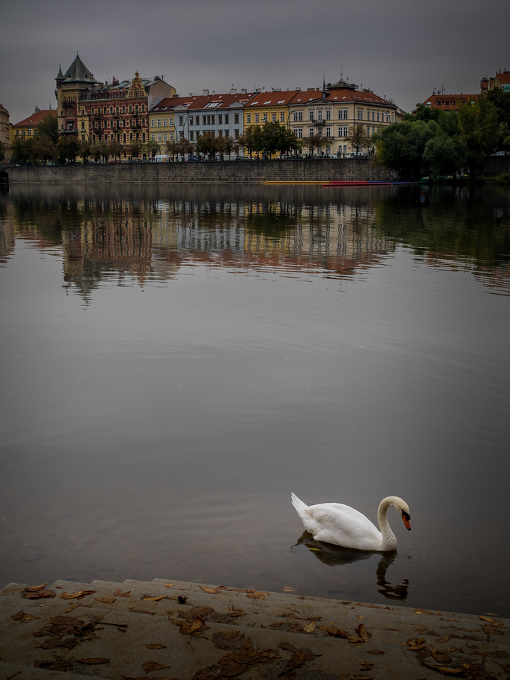 The famous swans of Prague VI