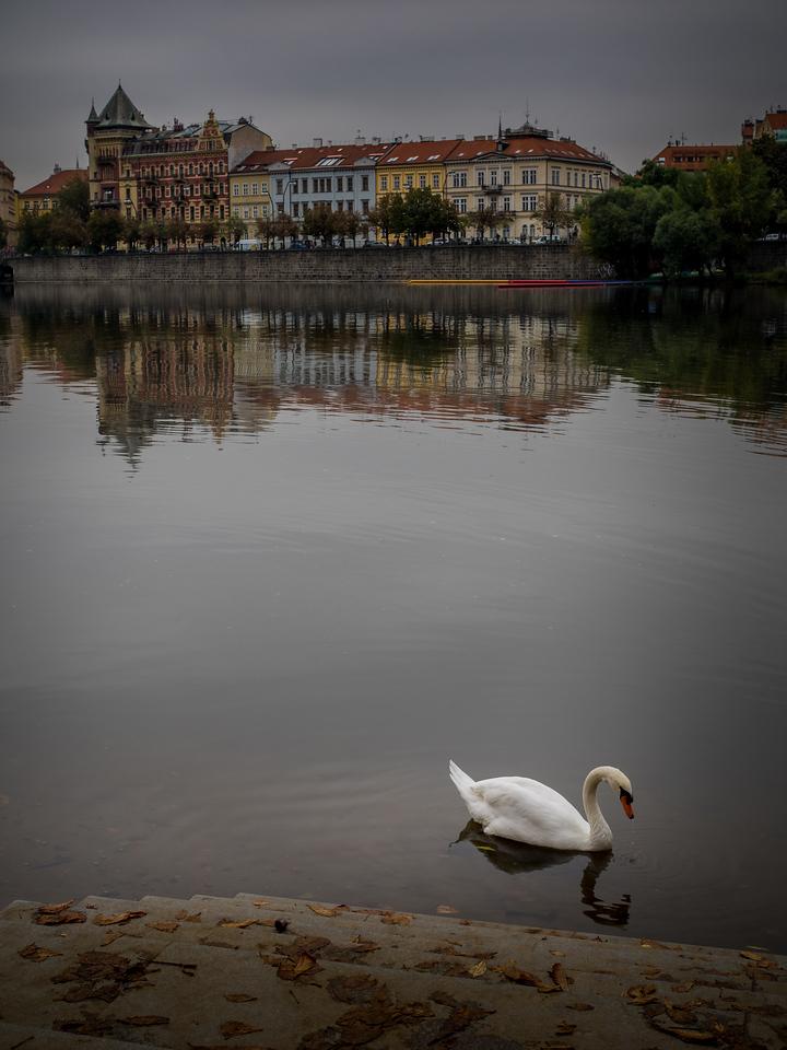 The famous swans of Prague VI