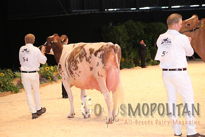 European Red HO Sr Cow16