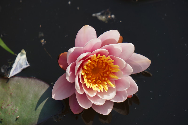 A water lily growing in one of Bert and Petra's water features