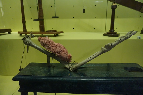 17th century model (most likely with real bones) of how the arm bends. Galileo Museum, Florence, Italy.